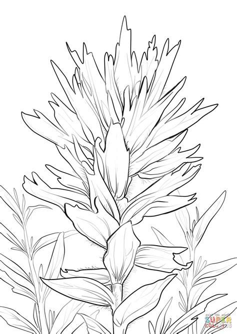 wyoming indian paintbrush coloring page free printable