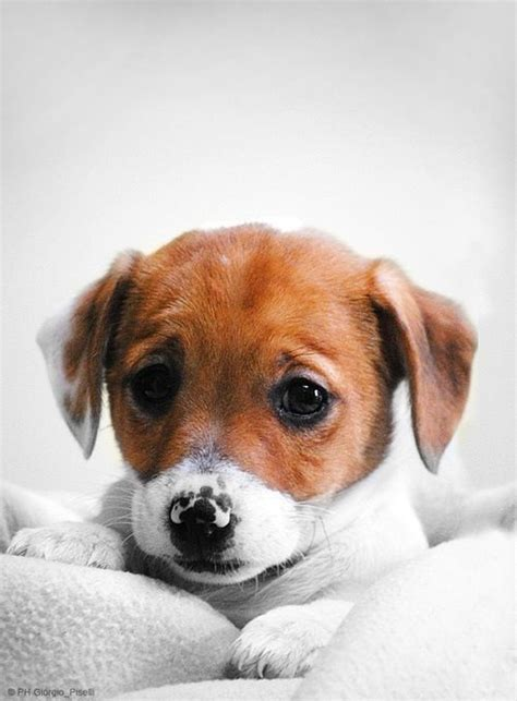 sad puppy love baby jack russell cool items pinterest