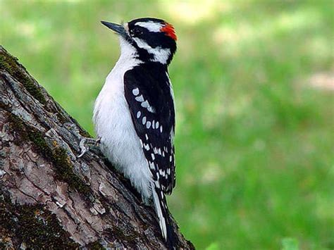 downy vs hairy woodpecker birdnation
