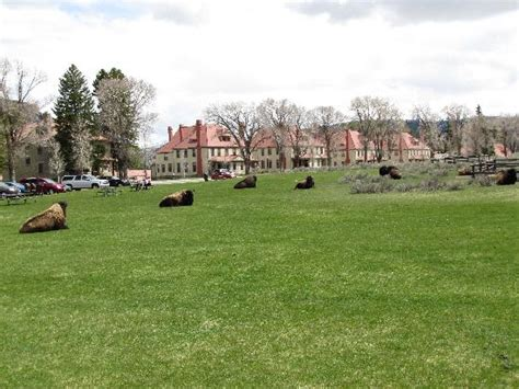 Mammoth Springs Hotel And Cabins Yellowstone National Park Wy by Bison Relaxing At Mammoth Picture Of Mammoth Springs