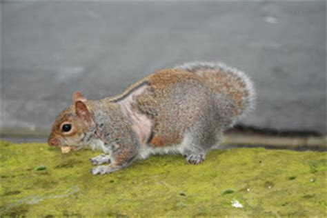 hair loss in squirrels squirrel hair loss alopecia moregeous making life