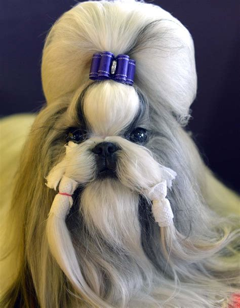 shih tzu show dogs feb 10 daily brief westminster show begins flooding in the uk and more