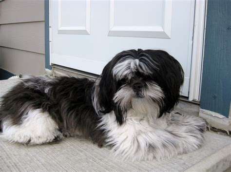 shih tzu allergy symptoms shih tzu allergies for humans breeds picture
