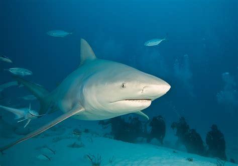 imagenes leones vs tiburones cr 243 nica de xalapa pescan y matan a balazos a un tibur 243 n