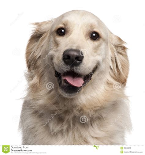 two year golden retriever up of golden retriever 2 years royalty free stock photo image 23088875