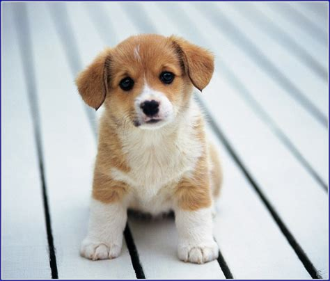 small white puppy brown and white dogs www pixshark images galleries with a bite