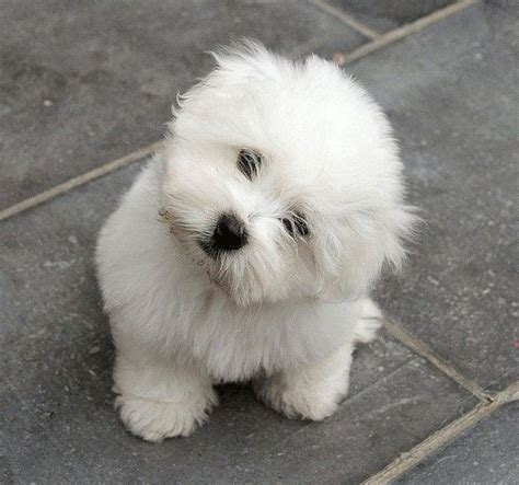 coton puppies coton de tul 233 ar a collection of animals and pets ideas to try westminster show
