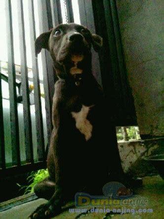 Cafortan Fortan Multivitamin dunia anjing jual anjing american pit bull terrier