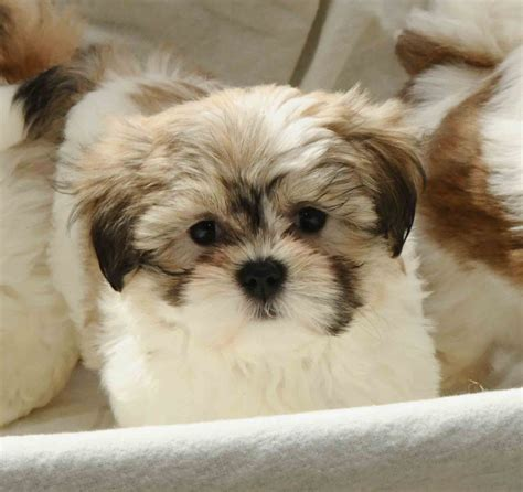 maltese shih tzu pups for sale malshi maltese terrier x shih tzu pups larkhall