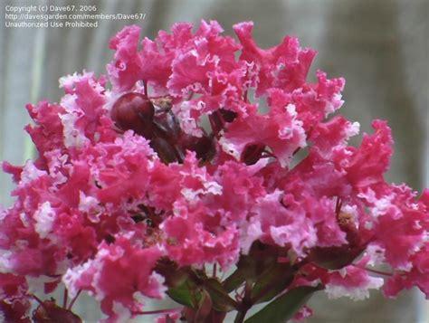 crape myrtle colors peppermint crepe myrtle tree colors today s bloom is