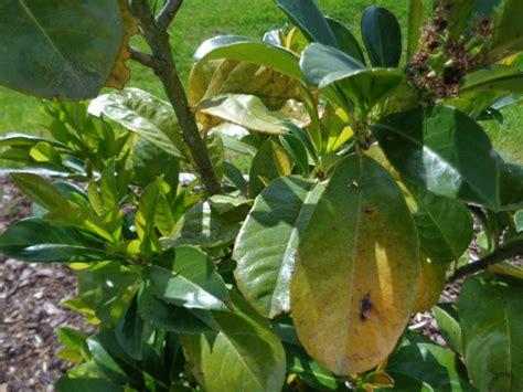 kirschlorbeer hat braune blätter kirschlorbeer gelbe bl 228 tter beim kirschlorbeer gelbe bl