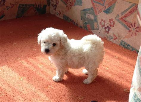 white poodle puppy white poodle cross bichon frise puppy sheerness kent pets4homes
