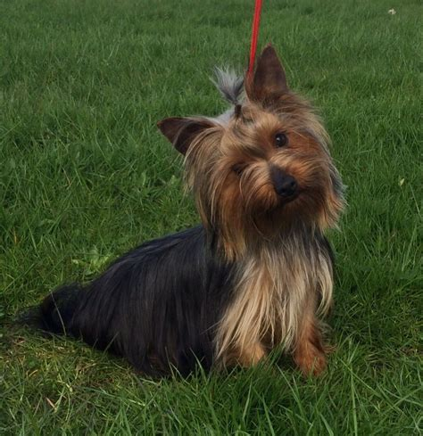 2 year yorkie for sale lovely one year yorkie boy bradford west pets4homes