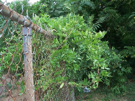 wisteria vines to cover chain link fence garden pinterest