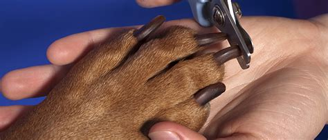 how often to cut dogs nails the no fear way to trim your s nails that pet