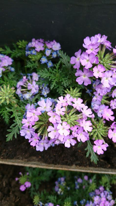 prune geraniums   growth  knew