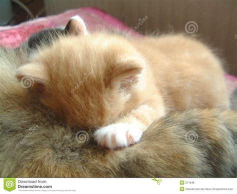 katze zuckt beim schlafen kleine rote trinkende und schlafende katze stockfoto