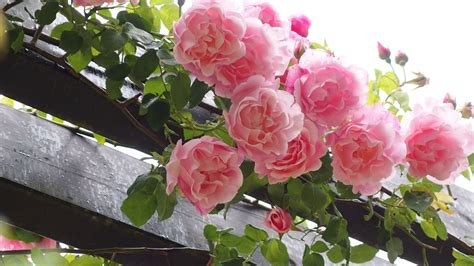 Garden Of Roses Poet by A Poem For Sunday 171 The Dish