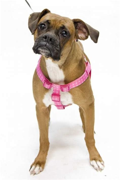 boxer puppies st louis 1000 images about we need a loving home on