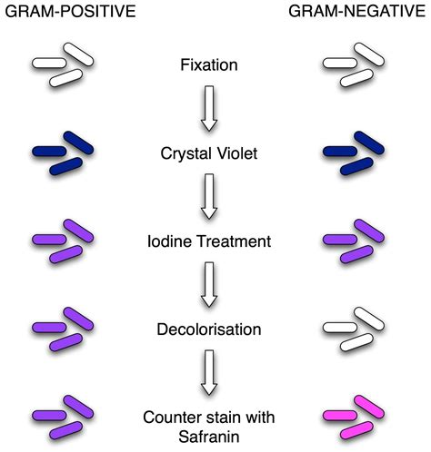 what color is gram positive gram staining principle procedure and results