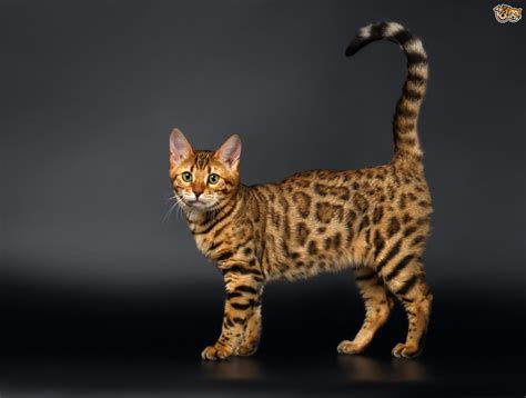 Do Bengal Cats Shed by Is It True Bengal Cats Shed Less Than Other Cats Pets4homes