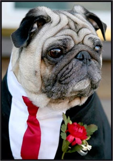 pug ring bearer a ring bearer pet involve friends in big day