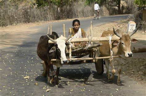 indian cart file on bullock cart umaria district mp india jpg