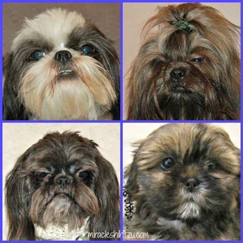 maltese shih tzu eye problems 1000 images about grooming tips on shih tzu shih tzu and