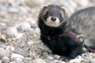 ferrets are great pets if you understand what it s like to own one