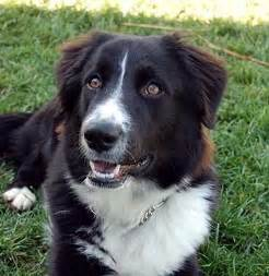 Border collie mix dogs 39 for border collie mix dogs