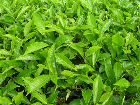 file tea plants jpg