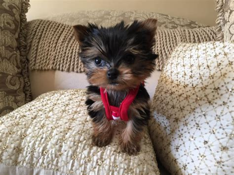 how big are teacup yorkies teacup yorkie puppies 2 5 to 4 lbs when fully grow baby doll in hoobly
