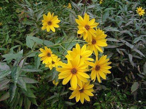 fiore topinambur erbe spontanee topinambur 24665 pollicegreen