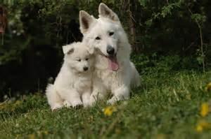 le berger test quizz quelle est cette race de chien quiz animaux