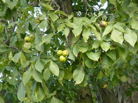 fruit trees in pa times and hickory nuts the view from grindstone