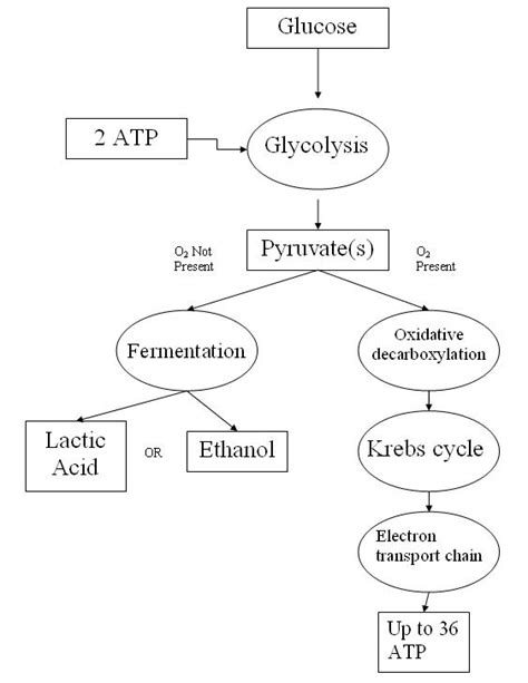 Cellular Respiration Breaking Energy Worksheet Answers by Cellular Respiration Simple The Free