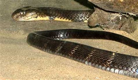 what is the most dangerous what is the most dangerous snake in the world