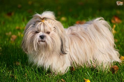shih tzu dog breed facts highlights buying advice petshomes