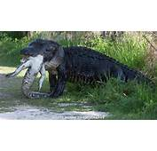 Gator Eats Another In Florida  ABC10com