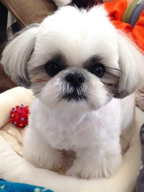and white shih tzu 14 reasons why shih tzus are the worst dogs