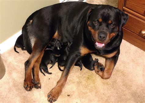 rottweiler puppies new newborn rottie puppies 4k wallpapers