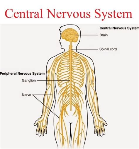 central nervous system diagram central nervous system anatomy note