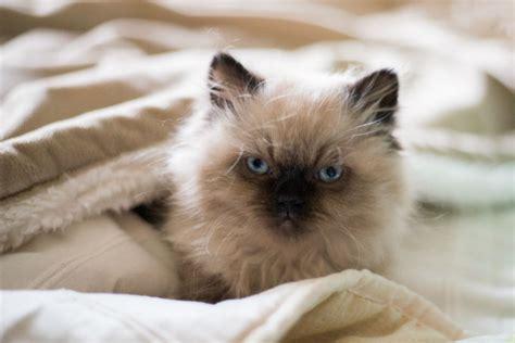 himalayan cats himalayan cat cat