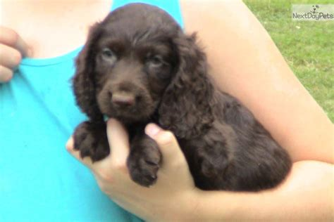 boykin spaniel puppies for sale in sc boykin spaniel puppy for sale near greenville upstate south carolina 70715d73 4071
