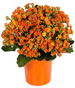 Homewarming Gift orange kalanchoe plant at from you flowers