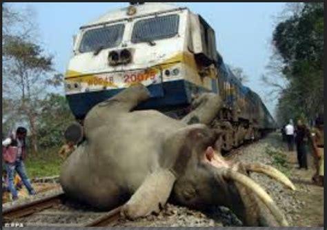 Kereta Real King animal conflicts loss of habitat security follow