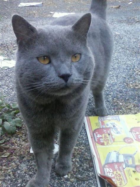gatti persiani grigi tutto gatti 171 animaliamiciviterbo