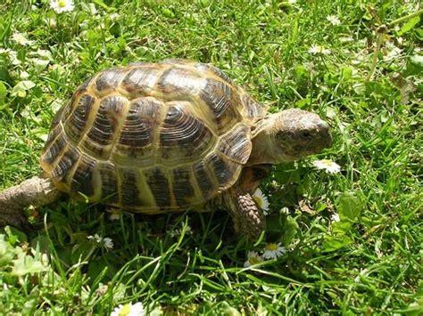 alimentazione tartaruga testudo horsfieldi