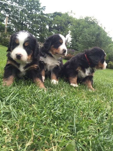 bernese mountain dogs for sale bernese mountain puppies for sale settle pets4homes