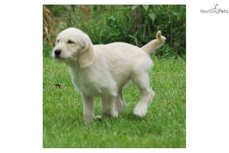 Highest Shedding Dogs by Hybrid Non Shedding Dogs Breeds Picture